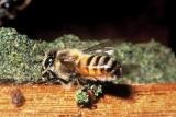 認知症予防に有効な食材としてミツバチのハチミツが注目されている