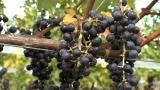 2月27日放送、カンテレ・フジテレビ系『7RULES(セブンルール)』英国のコンクールで日本初の金賞に輝いたワイン醸造家・三澤彩奈さんに密着(C)カンテレ