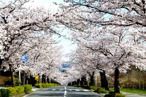 桜並木のトンネルを愛車で駆ける「桜ドライブ」にぴったりの名所を紹介する(写真は埼玉県秩父郡長瀞町「北桜通り」)