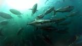 2000匹ものクロマグロの巨体が渦巻く圧巻の360度水中映像。360度カメラが捉えたマグロの大群=3月29日放送、NHK総合『超体感!エクストリーム・ミッション』(C)NHK