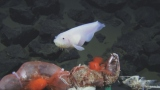 5月6日放送、Eテレ『サイエンスZERO』「世界記録更新!驚異の超深海魚」超深海で撮影されたP・スワイヤーアイ(C)JAMSTEC/NHK