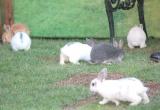 """のびのび駆けまわるウサギ=映画『ピーターラビット』""""ウサギ""""まみれイベント(C)ORICON NewS inc."""