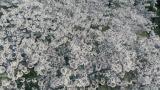 映画『ソローキンの見た桜』(C)2019ソローキンの見た桜製作委員会