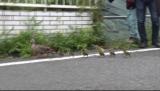 9日放送の日本テレビ系天才!志村どうぶつ園』でかるがも親子のお引越しに密着 (C)日本テレビ