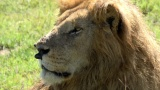 RKB・TBS系ドキュメンタリー『地球に生きる仲間たち!〜絶滅危惧種に会いに行こう in アフリカ〜』より。野生のライオン(C)RKB