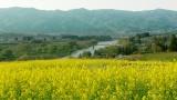 長野県の美しい菜の花畑の映像とともに(C)NHK
