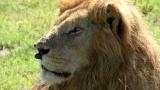 7月15日放送、RKB・TBS系ドキュメンタリー『地球に生きる仲間たち!〜絶滅危惧種に会いに行こう in アフリカ〜』より。野生のライオン(C)RKB
