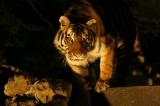 8月22日放送、NHK総合『ZOOっと見ナイト〜生中継!夜の動物園〜』迫力ある夜のトラの姿は見られるのか、イチかバチかの生中継(C)NHK