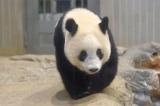 もうすぐひとり立ちの時期を迎えるシャンシャン(2018年10月22日撮影)(公財)東京動物園協会