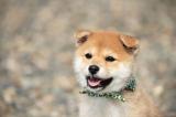 テレビ大阪制作、テレビ東京系『二代目和風総本家』マスコット犬の「豆助」(C)テレビ大阪
