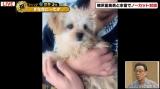 """梅沢富美男の愛犬""""ゆめちゃん"""" (C)AbemaTV"""