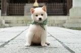 初の白柴犬、二十三代目・豆助登場