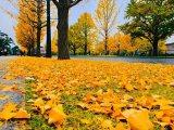 平祐奈が撮影した銀杏の絨毯(写真は公式ブログより)