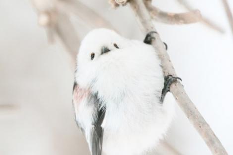 サムネイル 北海道に生息する野鳥・シマエナガ(提供:やなぎさわごうさん)