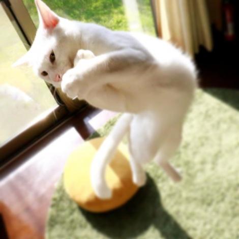 サムネイル 無重力猫としてSNSで人気のミルコ家の猫(画像提供:@mirko__chisa)