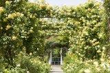 港の見える丘公園「イングリッシュローズの庭」(5月13日撮影)