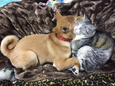 サムネイル 柴犬・はるおくんと仲睦まじい姿を見せた猫(画像提供:@ haruosensei_01)
