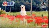 6月14日放送、『ナニコレ珍百景』で紹介された「花畑からいきなり顔を出す犬」(C)テレビ朝日
