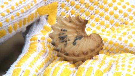 磯で確認したタコブネの殻