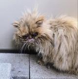 多頭飼育崩壊から助け出されたときのペルシャ猫のうちの1頭(写真:ねこけんブログより)