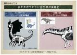 展示のみどころ『カセキポケモンと古生物の骨格図』