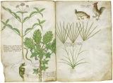 「薬草書」 15世紀 大英図書館蔵(C)British Library Board