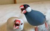 オラオラっぷりがすごい!白文鳥のテリちゃん(左)、桜文鳥のブンちゃん(右) 写真提供:たかはらさん