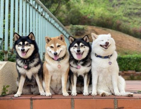 サムネイル 笑顔1000%、どうしても右の白柴に目がいってしまうと反響
